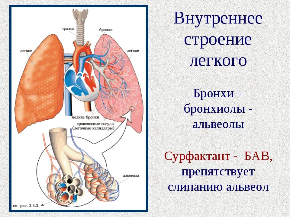 Внутреннее строение легкого Бронхи – бронхиолы - альвеолы Сурфактант - БАВ, п...