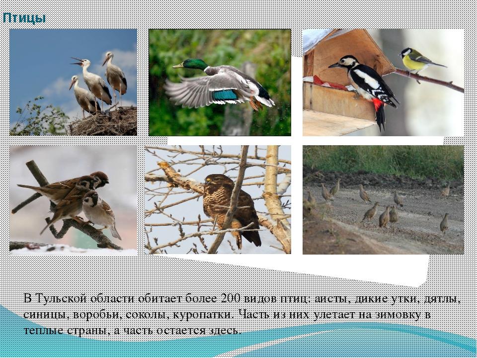 Птицы В Тульской области обитает более 200 видов птиц: аисты, дикие утки, дят...