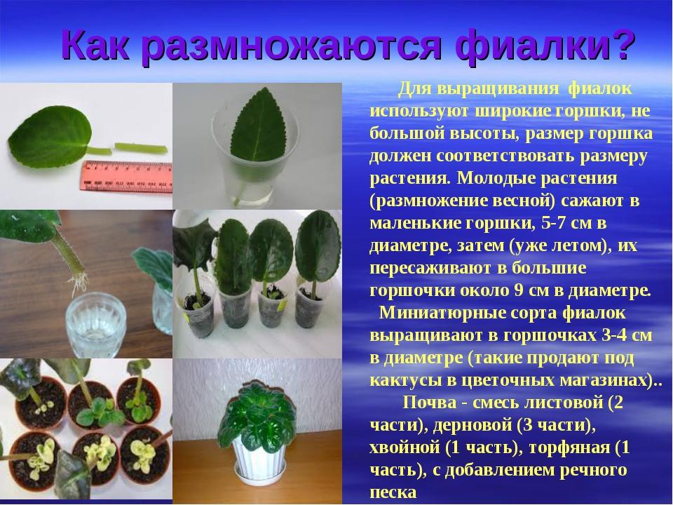 Выращивание фиалки презентация 98