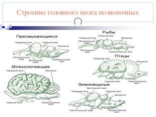 Строение головного мозга позвоночных