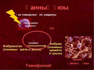 Қанның ұюы протромбин ферменті Фибриноген (плазманың ерігіш нәруызы) Фибрин (