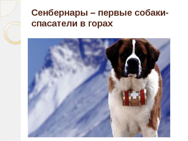 Сенбернары – первые собаки-спасатели в горах