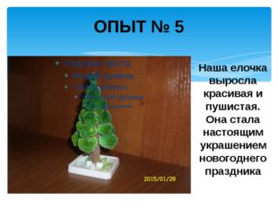 ОПЫТ № 5 Наша елочка выросла красивая и пушистая. Она стала настоящим украшен
