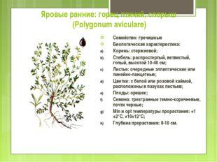 Яровые ранние: горец птичий, спорыш (Polygonum aviculare) Семейство: гречишны