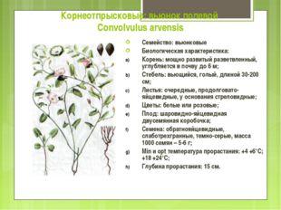 Корнеотпрысковые: вьюнок полевой Convolvulus arvensis Семейство: вьюнковые Би