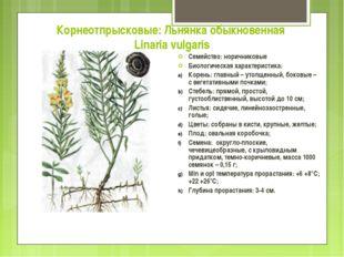 Корнеотпрысковые: Льнянка обыкновенная Linaria vulgaris Семейство: норичников