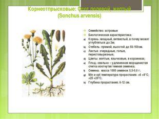 Корнеотпрысковые: Осот полевой, желтый (Sonchus arvensis) Семейство: астровые
