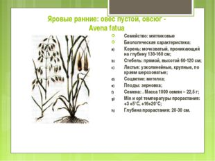 Яровые ранние: овес пустой, овсюг - Avena fatua Семейство: мятликовые Биологи