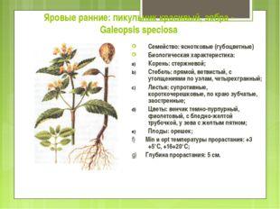 Яровые ранние: пикульник красивый, зябра - Galeopsis speciosa Семейство: ясно