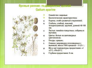 Яровые ранние: подмаренник цепкий - Galium aparine Семейство: маревые Биологи