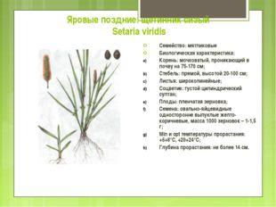 Яровые поздние: щетинник сизый Setaria viridis Семейство: мятликовые Биологич