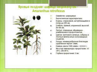 Яровые поздние: ширица запрокинутая - Amaranthus retroflexus Семейство: шириц
