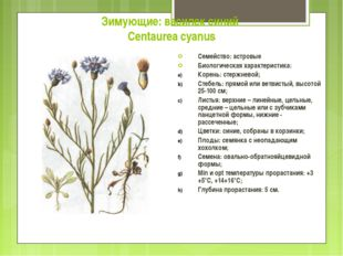 Зимующие: василек синий Centaurea cyanus Семейство: астровые Биологическая ха