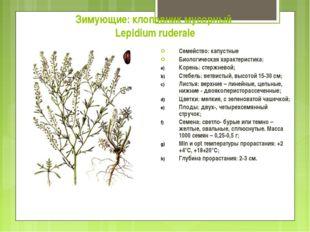 Зимующие: клоповник мусорный Lepidium ruderale Семейство: капустные Биологиче