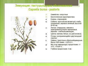 Зимующие: пастушья сумка обыкновенная Capsella bursa - pastoris Семейство: ка