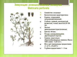 Зимующие: ромашка собачья, непахучая Matricaria perforata Семейство: астровые