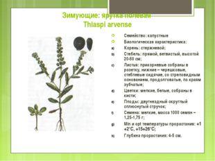Зимующие: ярутка полевая Thlaspi arvense Семейство: капустные Биологическая х