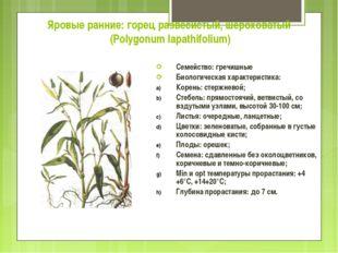 Яровые ранние: горец развесистый, шероховатый (Polygonum lapathifolium) Семей