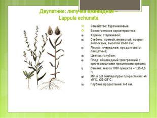 Двулетние: липучка ежевидная – Lappula echunata Семейство: бурачниковые Биоло