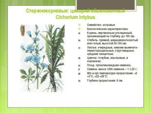 Стержнекорневые: цикорий обыкновенный Cichorium intybus Семейство: астровые Б