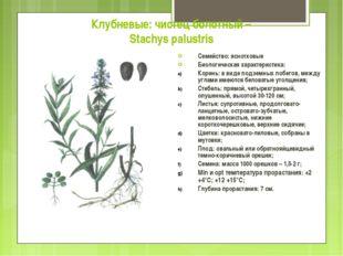 Клубневые: чистец болотный – Stachys palustris Семейство: яснотковые Биологич