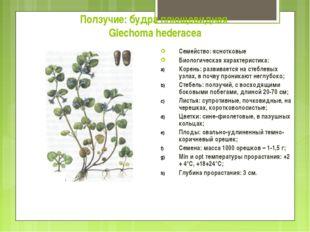 Ползучие: будра плющевидная Glechoma hederacea Семейство: яснотковые Биологич