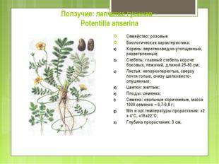 Ползучие: лапчатка гусиная - Potentilla anserina Семейство: розовые Биологиче