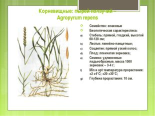 Корневищные: пырей ползучий – Agropyrum repens Семейство: злаковые Биологичес