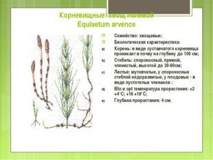 Корневищные: хвощ полевой Equisetum arvence Семейство: хвощевые; Биологическа