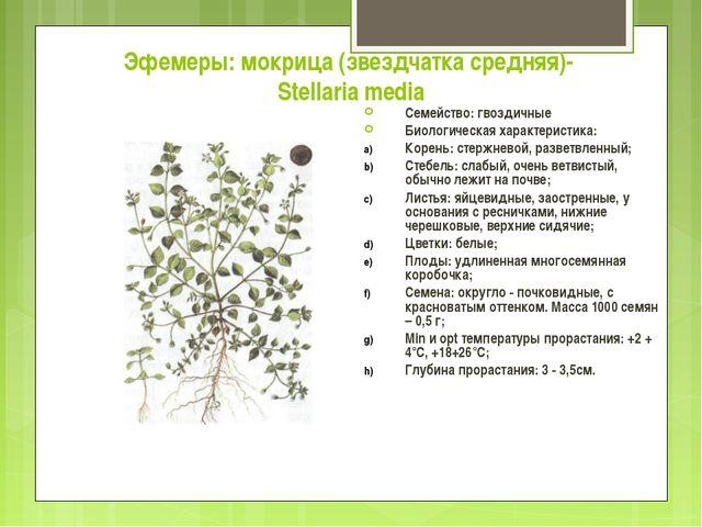 Эфемеры: мокрица (звездчатка средняя)- Stellaria media Семейство: гвоздичные...