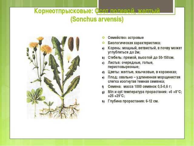 Корнеотпрысковые: Осот полевой, желтый (Sonchus arvensis) Семейство: астровые...