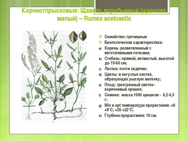 Корнеотпрысковые: Щавель воробьиный (щавелек малый) – Rumex acetosella Семейс...