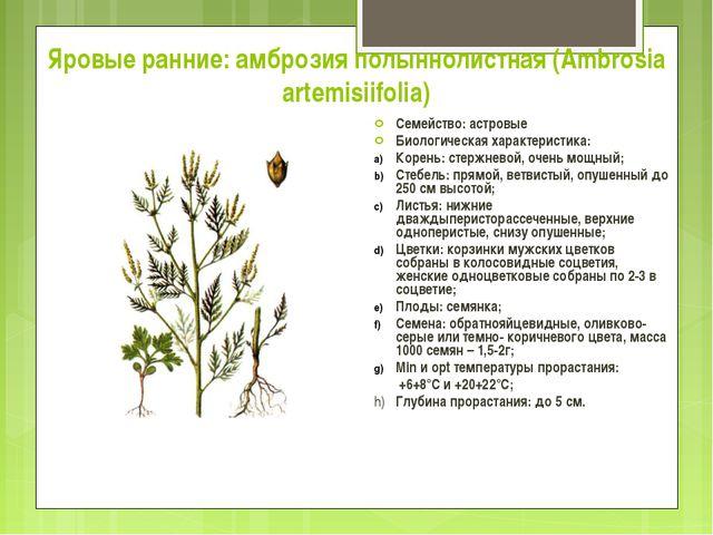 Яровые ранние: амброзия полыннолистная (Ambrosia artemisiifolia) Семейство: а...