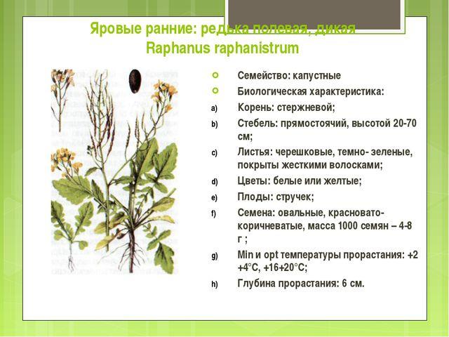 Яровые ранние: редька полевая, дикая Raphanus raphanistrum Семейство: капустн...
