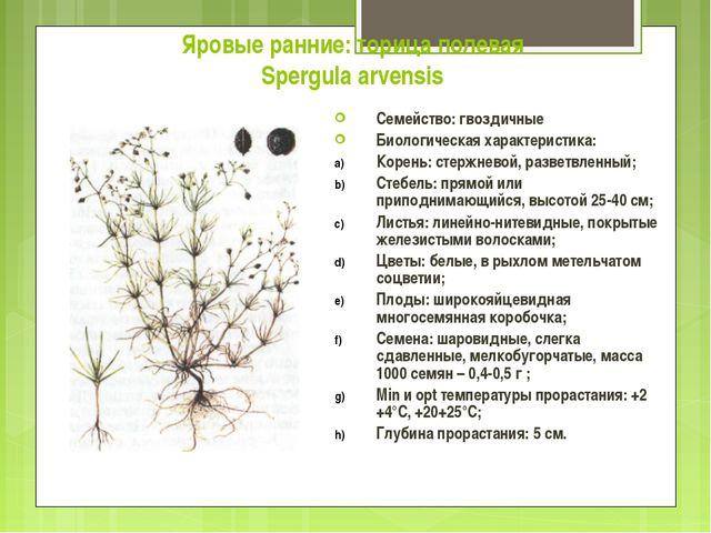 Яровые ранние: торица полевая Spergula arvensis Семейство: гвоздичные Биологи...
