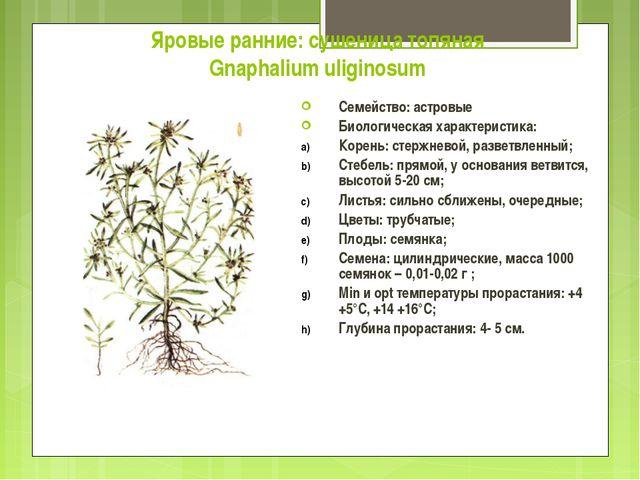 Яровые ранние: сушеница топяная Gnaphalium uliginosum Семейство: астровые Био...