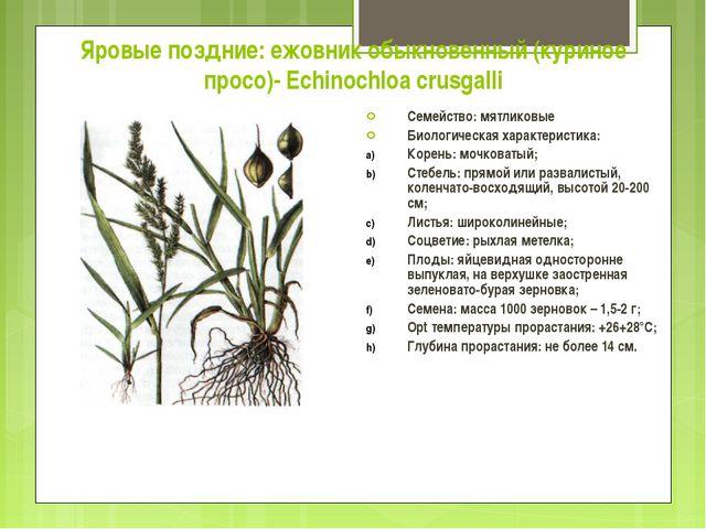 Яровые поздние: ежовник обыкновенный (куриное просо)- Echinochloa crusgalli С...