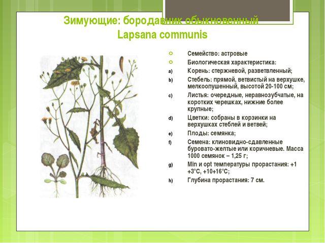 Зимующие: бородавник обыкновенный Lapsana communis Семейство: астровые Биолог...