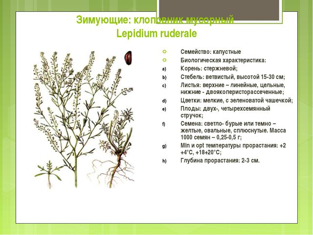 Зимующие: клоповник мусорный Lepidium ruderale Семейство: капустные Биологиче...