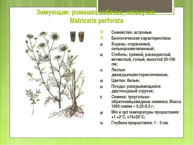 Зимующие: ромашка собачья, непахучая Matricaria perforata Семейство: астровые...
