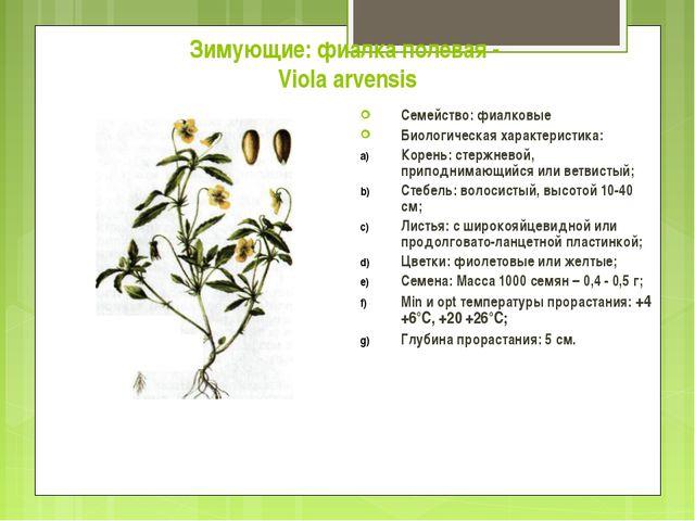 Зимующие: фиалка полевая - Viola arvensis Семейство: фиалковые Биологическая...