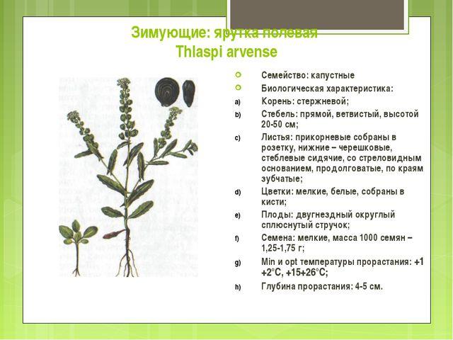 Зимующие: ярутка полевая Thlaspi arvense Семейство: капустные Биологическая х...