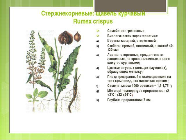 Стержнекорневые: щавель курчавый Rumex crispus Семейство: гречишные Биологиче...