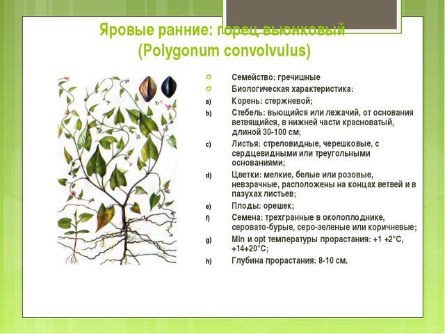 Яровые ранние: горец вьюнковый (Polygonum convolvulus) Семейство: гречишные Б...