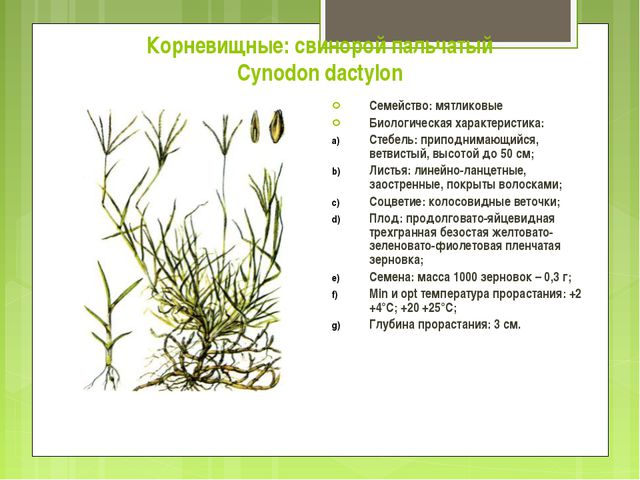 Корневищные: свинорой пальчатый Cynodon dactylon Семейство: мятликовые Биолог...