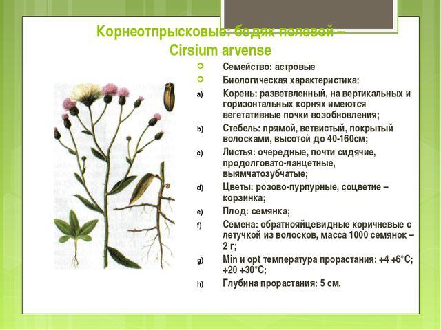 Корнеотпрысковые: бодяк полевой – Cirsium arvense Семейство: астровые Биологи...