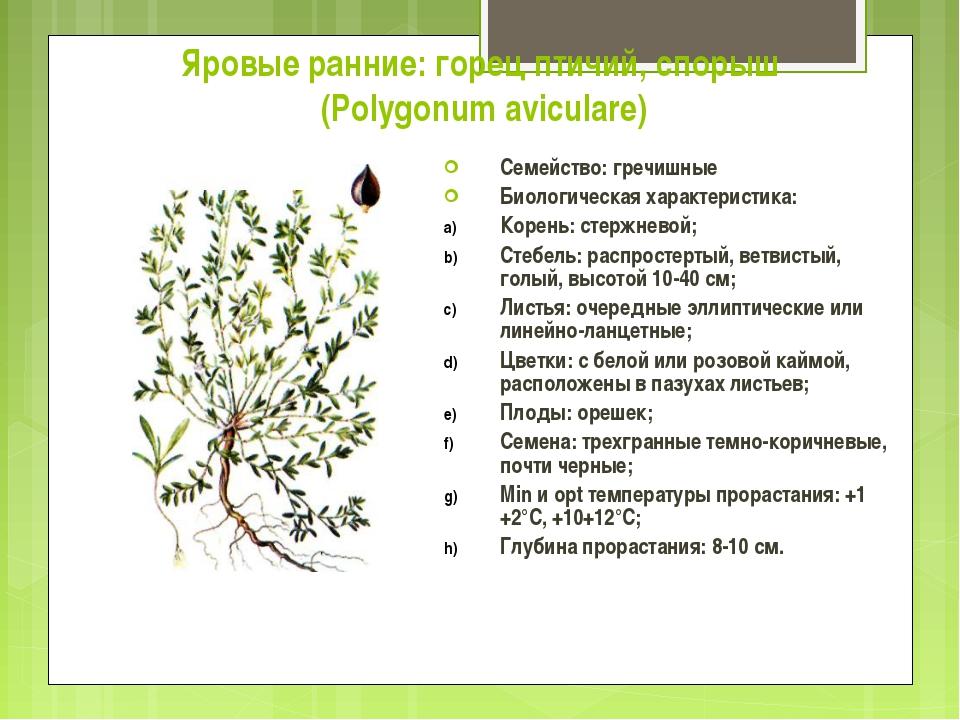 Яровые ранние: горец птичий, спорыш (Polygonum aviculare) Семейство: гречишны...