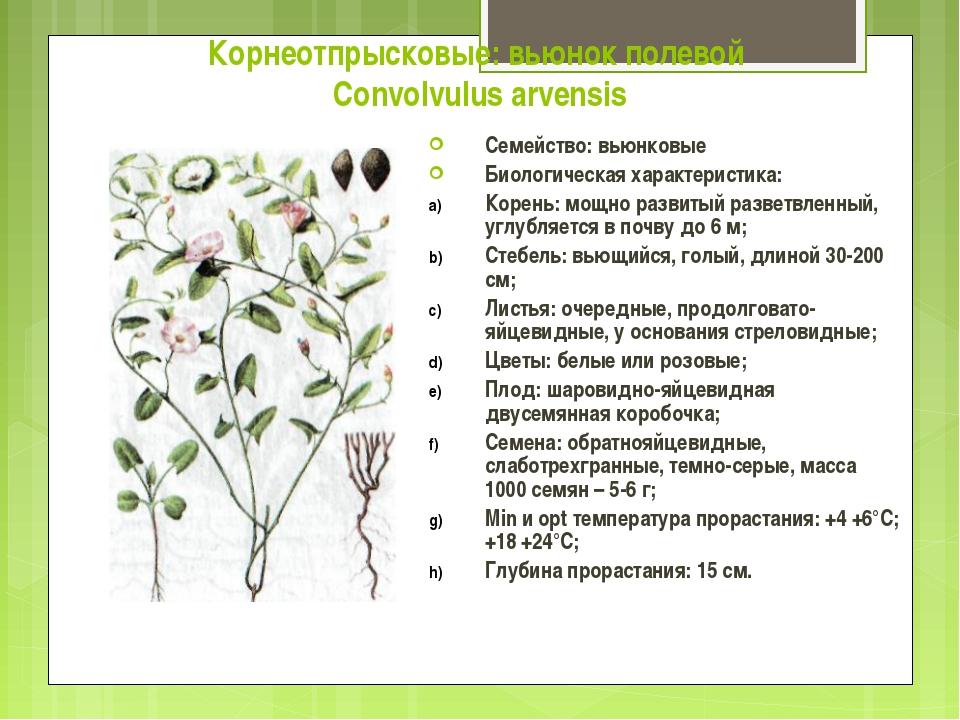 Корнеотпрысковые: вьюнок полевой Convolvulus arvensis Семейство: вьюнковые Би...