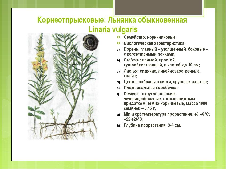 Корнеотпрысковые: Льнянка обыкновенная Linaria vulgaris Семейство: норичников...