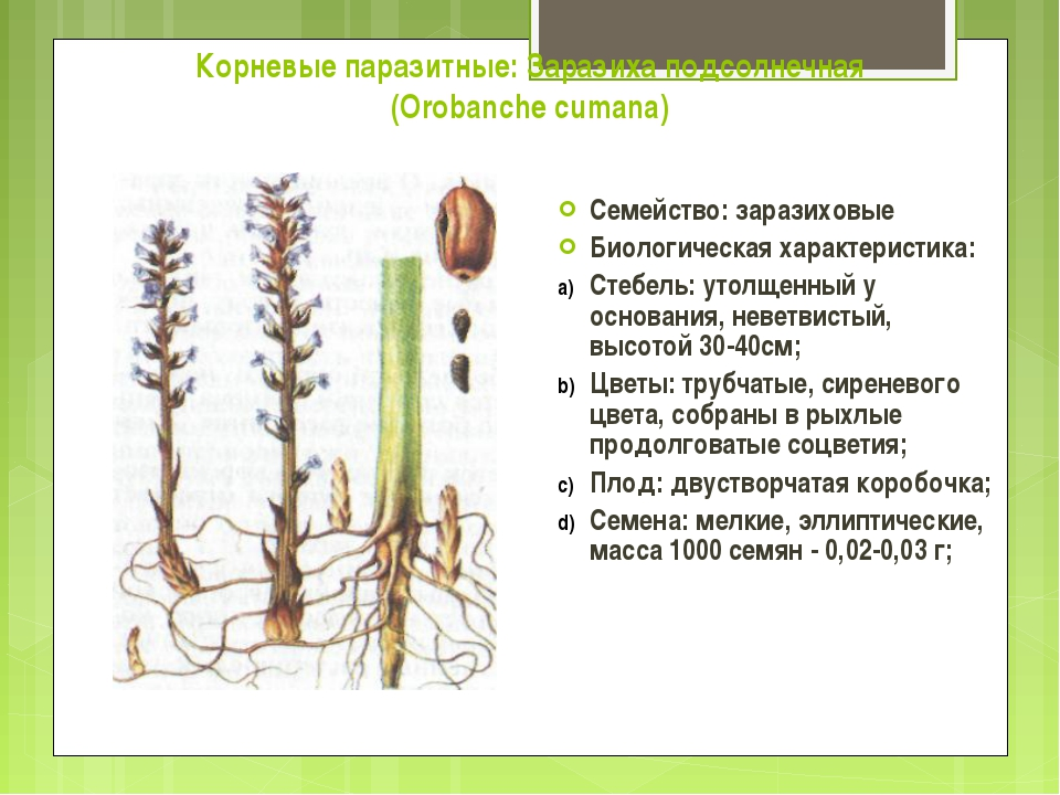 Корневые паразитные: Заразиха подсолнечная (Orobanche cumana) Семейство: зара...